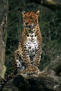 Léopard // Leopardo // Leopard (Panthera Pardus) shared by Aberto Giulio on G+ Animals And Pets, Baby Animals, Cute Animals, Big Cats, Cool Cats, Beautiful Cats, Animals Beautiful, Gato Grande, Exotic Cats