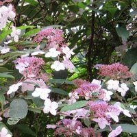 Shrubs for containers - Hydrangea macrophylla, H 1m, S 1.5m, sun or partial shade, UK hardy
