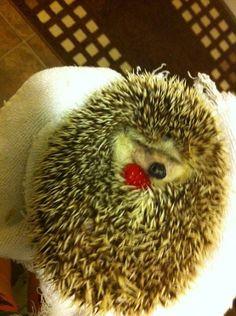 A hedgehog cuddling with a raspberry