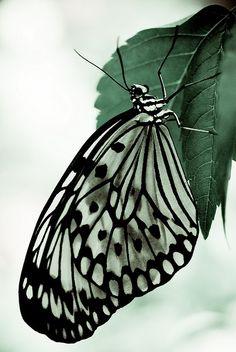 Butterfly #9 by aravis121 on Flickr.