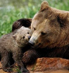 Bear Cub and Mother Playing