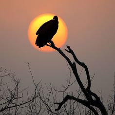 Vulture silhouette at sunset in the Kruger National Park Kruger National Park, National Parks, Cool Pictures, Cool Photos, Cat Activity, Male Lion, Animal Silhouette, Most Beautiful Animals, Rare Animals