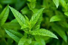 Menta Es una planta cuyas hojas se utilizan desde tiempos ancestrales con fines medicinales; la menta perfumará tu casa y, si la colocas bordeando el jardín, te ayudará a alejar a las hormigas.