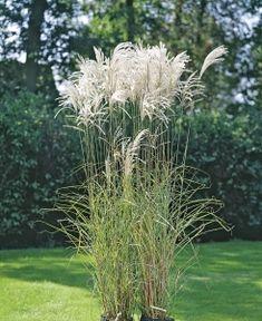 Japanskt gräs 'Silberfeder' Flower Beds, Perennials, Pergola, Herbs, Landscape, Flowers, Plants, Landscaping Ideas, Balcony