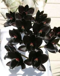 - Astonishing Black Plants And Flowers Design Ideas For Black Garden Dark Flowers, Exotic Flowers, Beautiful Flowers, Purple Flowers, Flor Magnolia, Gothic Garden, Rare Orchids, Black Garden, Orchidaceae