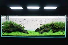 Картинки по запросу Амано Aquarium, Goldfish Bowl, Fish Tank, Aquarius