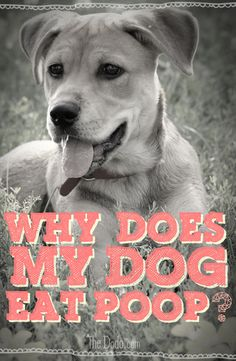 The most important question ever asked: Why does my dog eat poop? We have answers! Click through for the poopy truth.