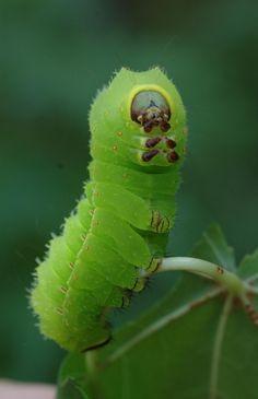 .caterpillar