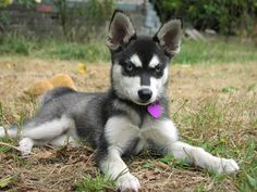 Must have one day! An Alaskan Klee Kai.
