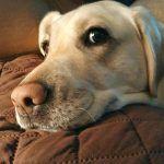 Diese Dinge müssen Sie besitzen, wenn Sie sich ein Labrador Retriever Welpen kaufen wollen