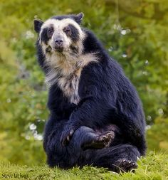 Winking Spectacled Bear (EXPLORE)