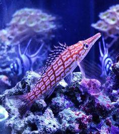 """❤ #longnosehawkfish"""