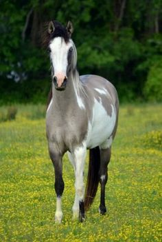 Grey paint horse. Such a pretty filly standing in a field of yellow flowers.