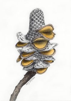 Banksia Seed Pod Drawing Banksia Seed Pod - print from coloured pencil drawing by Lucy Geijskes
