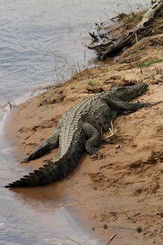 Crocodile Eyes, Crocodile Animal, Nile Crocodile, Les Reptiles, Cute Reptiles, Reptiles And Amphibians, Crocodile Pictures, Seal Point Siamese, Zoo Book