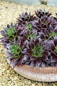 SEMPERVIVUM 'BLACK PRINCE' repined by http://www.claudiadeyongdesigns.com