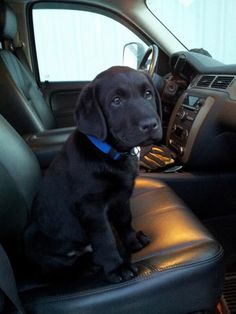 "Gorgeous black lab pup! Reminds me of Yap she went every where with me. ""lets go for a ride"""