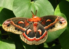 Cecropia Moth   Cecropia Moth   The Nature of Delaware