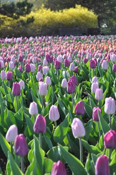 Tulips in the Capital ~~ Ottawa, Ontario, Canada Tulip Festival 2016 Tulpen in der Hauptstadt ~ ~ Ottawa, Ontario, Kanada. Purple Tulips, Tulips Flowers, Spring Flowers, Beautiful Flowers, Tulips Garden, Garden Bulbs, Tulip Festival, Festival 2016, Good Morning Flowers