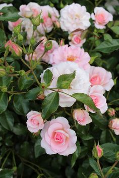 'Rosario' | Climber, Large-Flowered Climber, Shrub rose. Bred by Hans Jürgen Evers (Germany, 1993) | Flickr - © Lilja Sirpale