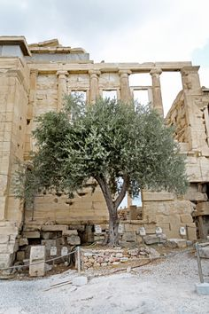 "prettywittygracious: ""hawaiiancoconut: ""An olive tree at the Acropolis. "" AN olive tree at the Acropolis?? AAAAAAAAAAAN olive tree at the Acropolis?? Like this is just a simple olive tree, one of the many just randomly planted around the..."