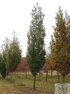 Armstrong maple full sun zone 3 dense narrow form for Skinny trees for tight spaces