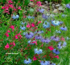 Love-in-a-Mist 'Miss Jekyll' (light blue) (Nigella damascene), Spanish Love-in-a-Mist 'Curiosity' (purple) (Nigella hispanica), and Autumn Sage 'Raspberry Royale' (fuchsia) (Salvia greggii)
