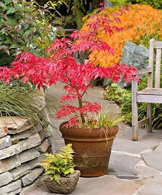 Stunning Japanese Garden Ideas Plants You Will Love 14 … – Modern Design - Modern Planting Japanese Maple, Japanese Maple Bonsai, Japanese Plants, Japanese Garden Design, Japanese Tree, Small Trees For Garden, Garden Trees, Small Gardens, Garden Pots
