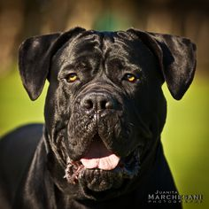 "The breed is commonly referred to as the ""Mastiff"". Also known as the English Mastiff this giant dog breed gets known for its splendid, good nature. Italian Cane Corso, Cane Corso Italian Mastiff, Cane Corso Mastiff, Cane Corso Dog, Mastiff Breeds, Mastiff Puppies, Giant Dog Breeds, Giant Dogs, Chien Cane Corso"