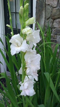 GLADIOLUS  WHITE FLOWER