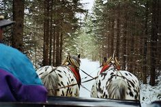 Curly Horse, Leopard Appaloosa, Sleigh Rides, Draft Horses, Image Search, Heaven, Magic, Ring, Google