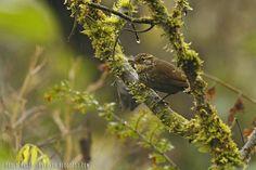 mis fotos de aves: Syndactyla rufosuperciliata Ticotico común Buff-br...