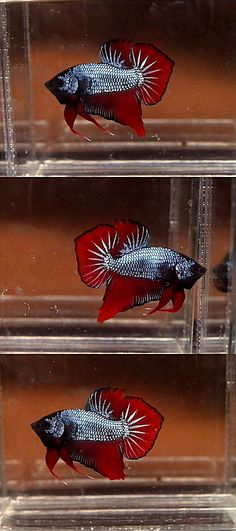 Spadetail Betta: The Spadetail has an equal spread on either side of the fin, similar to a Roundtail, but with tail finishing in a  point rather than a rounded edge. The bottom fins are straighter and pointier. Caudal has a wide base that narrows to a delicate point. http://betta-plakat.blogspot.com/2011_06_01_archive.html