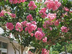 Neither water shortages nor deer can keep these blooms down. #CrapeMyrtle #trees thrive in hot, sunny climates and bloom in the summer, adding a colorful pop to your #curbappeal. #PlantingIdeas
