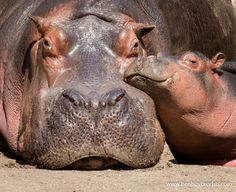 Hippo Mother and Child