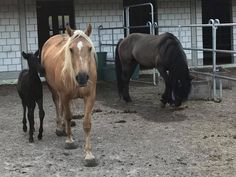 Meine Mustangfamilie: Sire: El Pueblo, BLM-Mustang, grullo Dam: Shatira, BLM-Mustang, palomino Filly: Sombra del Pueblo, black www.americanhorsepoint.com Quarter Horses, Mustang, Palomino, American, Animals, Western Saddles, Horse And Rider, Training, Equestrian