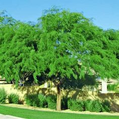 Thornless Chilean Mesquite - Prospsis Chilensis.  I love this tree.