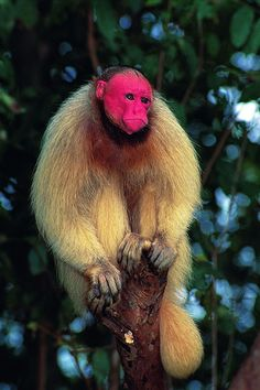 The facial skin and ears of the nald uacari (Cacajao calvus calvus) are unpigmented and appear pink-to-scarlet because of their blood in subcutaneous capillaries. Photograph: Luiz Claudio Marigo/Conservation International