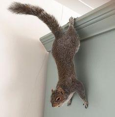 Opgezette grijze eekhoorn Animal Sculptures, Persona, Amy, Dinosaur Stuffed Animal, Hunting, Brunch, Wildlife, Creatures, Awesome