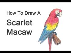 How to Draw a Macaw (Scarlet Macaw) - YouTube