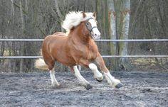 Kaltblüter Hengst  http://www.ehorses.de/weitere-kaltblueter-hengst-3jahre-162-cm-fuchsdeckhengst-fahrpferd-freizeitpferd-barockpferd-chelmno/1124974.html