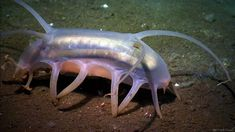 The Mariana Trench contains the deepest parts of the ocean, and the animals that live there are so unique!