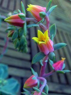 Echeveria secunda glauca - flower