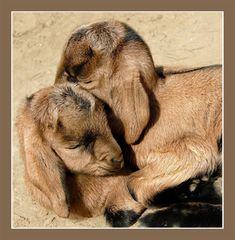 It's warmer together. Author: I miss my goats too Cute Romantic Pictures, Cute Pictures, Zoo Animals, Cute Animals, Baby Goats, Exotic Pets, Animal Kingdom, Animals Beautiful, Animal Pictures