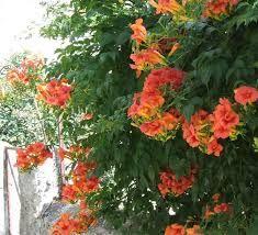 Afbeeldingsresultaat voor trompetbloemen