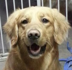 This is Joben - 3 yrs. He is an owner surrender - they could no longer afford his medical care. Joben suffers from severe & sometimes frequent seizures. He needs a forever home where someone is home most of they day & to closely monitor his condition. He is neutered, current on vaccinations, potty trained & good with dogs - no young kids. Golden Retriever Rescue of the Rockies, CO. http://www.petfinder.com/petdetail/28883911/ - http://goldenrescue.com/joben/
