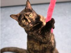 "A1737220 – Padme is a female 3 year-old Tortoiseshell Domestic Shorthair. She is the life of the party and always wants to play. Padme  craves affection from people. She can play fairly rough, so an adult home would be ideal. She just wants to be the queen of your house and keep you company. You can meet Padme at Lucky Paws in Coronado Mall. (""Weeee."") www.cabq.gov/pets"