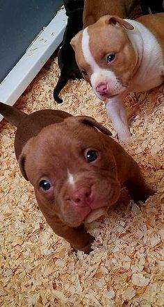 Follow @pitbulldogstuff #pitbulldogstuff #pitbull #pitbullsofinstagram #pitbulllove #pitbulls #dontbullymybreed #pitbulladvocate #pitbulllife #pit #pitbullsofig #endbsl #pitbullpuppy #pibble #americanbully #pitbullsofficial #bullybreed #pitbullmom #bully #pitsofinstagram #whogivesapit #adoptdontshop #pitbullinstagram #pitbullpride #pittiesofinsta #ourpitpage #instapit #apbt #staffy #pittie #pitsofig #amstaff