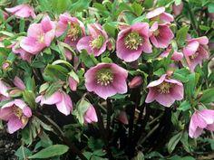 6 könnyen gondozható árnyéktűrő növény Landscaping Plants, Garden Plants, Flowering Plants, Nursery Supplies, Lenten Rose, Lilac Roses, Rose Images, Planting Roses, Beautiful Flowers Garden