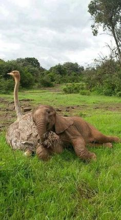 It is safe to say orphaned ostrich Pea most definitely believes she is part of the elephant herd and little Jotto is more than happy to enjoy a cuddle with his feathered friend, 2016 / The David Sheldrick Wildlife Trust - by Peter Mbulu, Kenyan Cute Baby Animals, Animals And Pets, Funny Animals, Wild Animals, Beautiful Creatures, Animals Beautiful, Unlikely Animal Friends, David Sheldrick Wildlife Trust, Tier Fotos